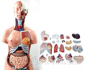 Анатомическая модель торса и скелета человека  85 см 23 части