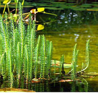 Водяная сосенка, хвостник
