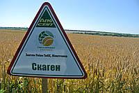 Скаген Семена озимой пшеницы (Заатен Унион, Германия)