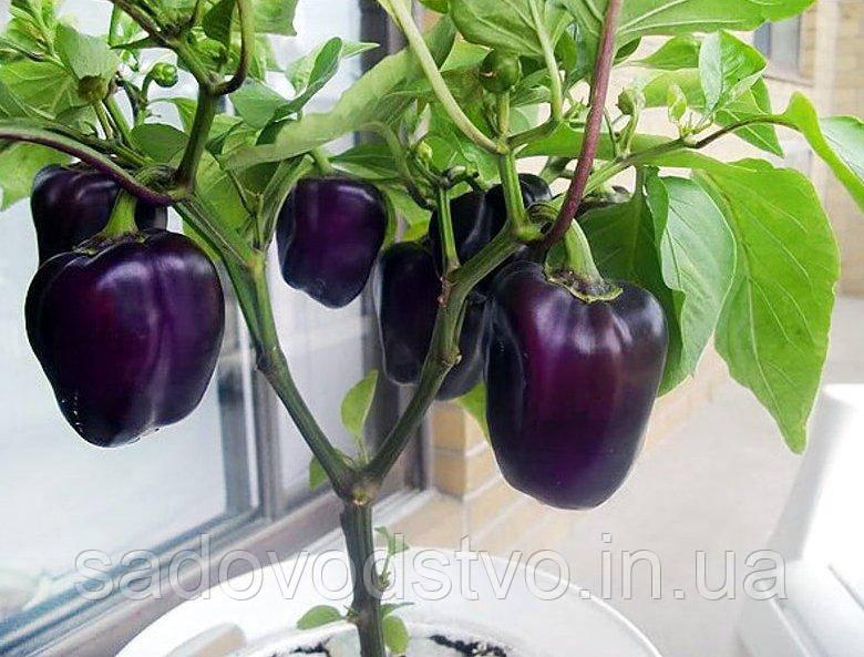 Сладкий  перец  Фиолетовый красавец