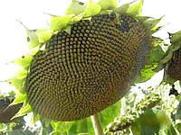 Купить Семена подсолнечника Опера ПР