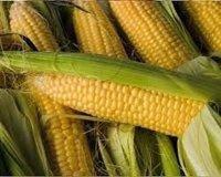 Купить Семена кукурузы СИ Топмен