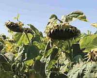 Купить Семена подсолнечника Тутти
