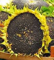 Купить Семена подсолнечника Тристан