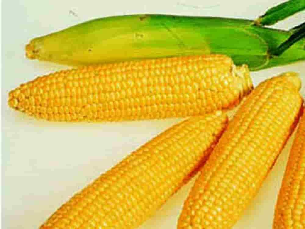Купить Семена кукурузы СИ Аладиум
