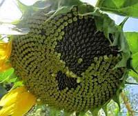 Купить Семена подсолнечника Савинка