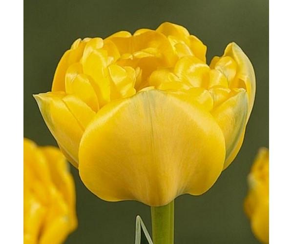 Тюльпан махровый Yellow Pomponette, луковица