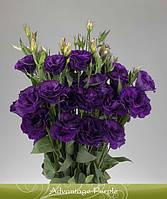 Advantage Purple
