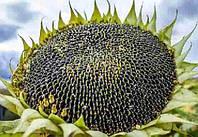 Купить Семена подсолнечника НК Фортими