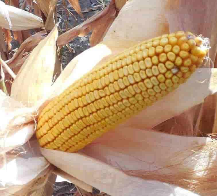 Купить Семена кукурузы Кобальт