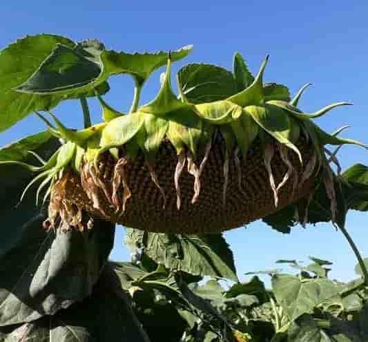 Купить Семена подсолнечника НК Конди
