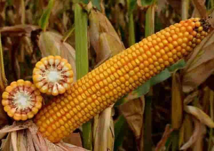 Купить Семена кукурузы СИ Новатоп