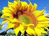 Купити Насіння соняшнику ПК Армони