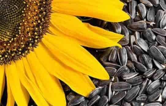 Купить Семена подсолнечника НК Ферти