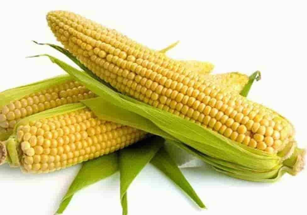 Купить Семена кукурузы НК Канзас
