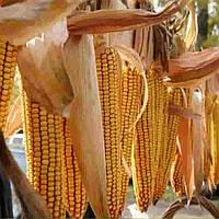 Купить Семена кукурузы Ротанго
