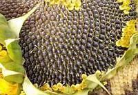 Купить Семена подсолнечника СИ Кадикс