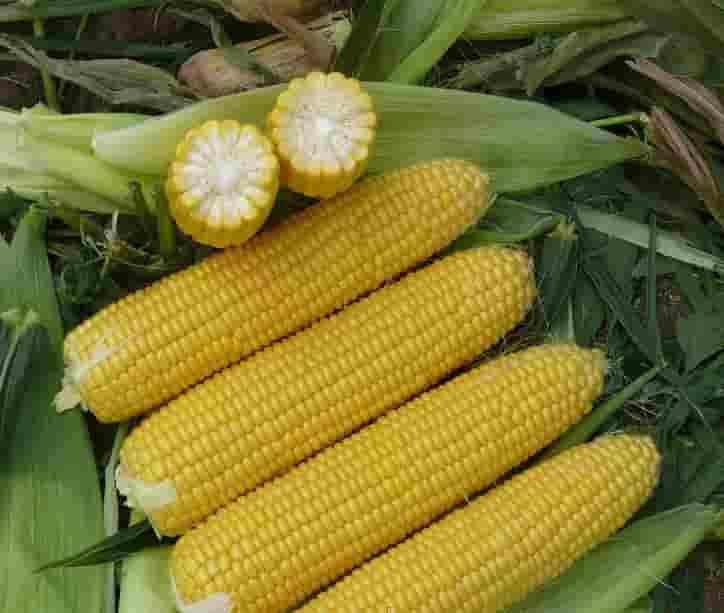 Купить Семена кукурузы НК Энигма