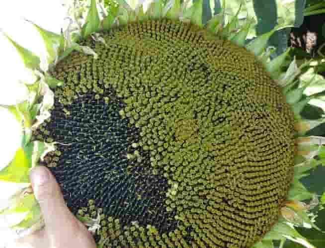 Купить Семена подсолнечника Купава