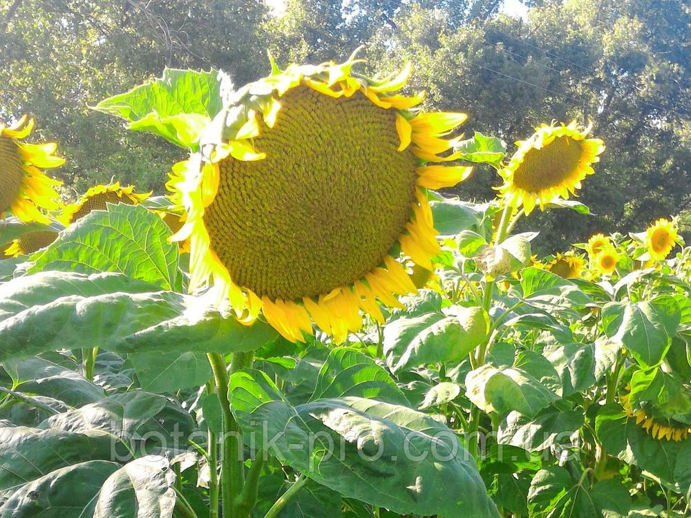 Семена подсолнечника Рими под Евролайтнинг фракция стандарт