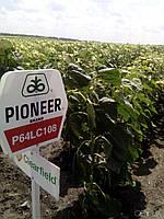 Семена подсолнечника  П64ЛЦ108 (Пионер) Евролайтинг