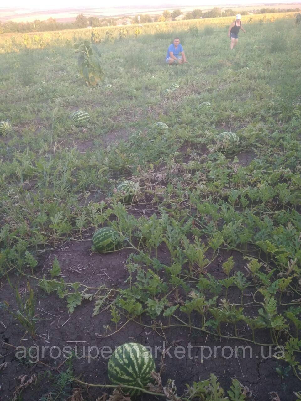 ПРОДЮСЕР/ Галактика семена арбуза банка 0.5кг (Турция Оригинал бт-сид), фото 2