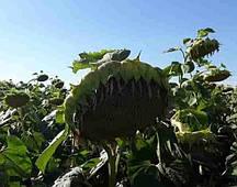 Купить Семена подсолнечника Сумико