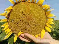 Купить Семена подсолнечника СИ Эксперто
