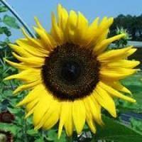 Купить Семена подсолнечника Тансол