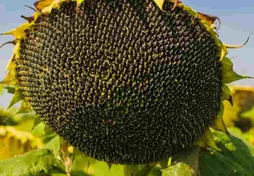 Купить Семена подсолнечника Эстрада