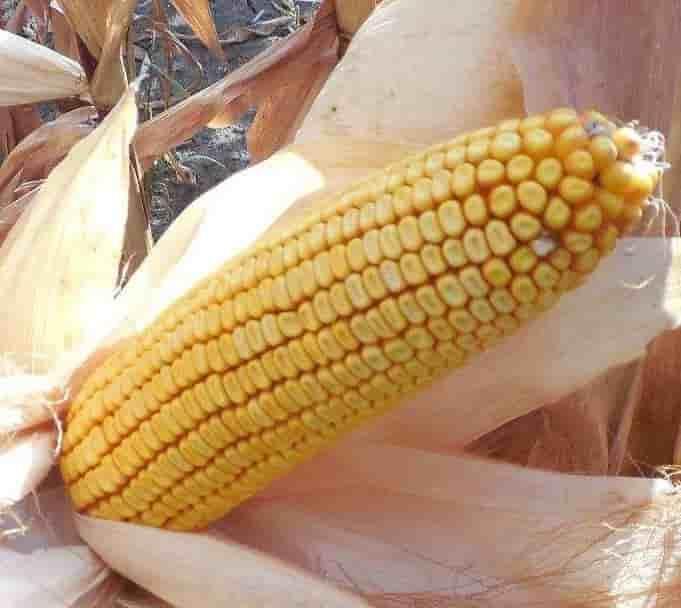 Купить Семена кукурузы СИ Ариосо