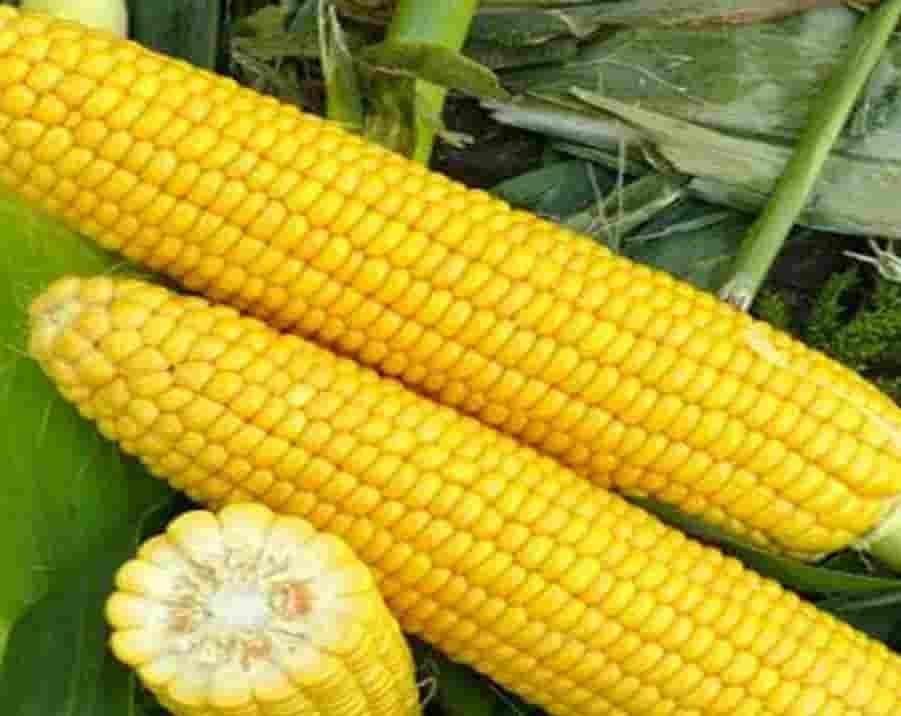 Купить Семена кукурузы СИ Иридиум