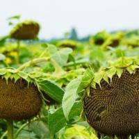 Купить Семена подсолнечника П64ЛЕ25