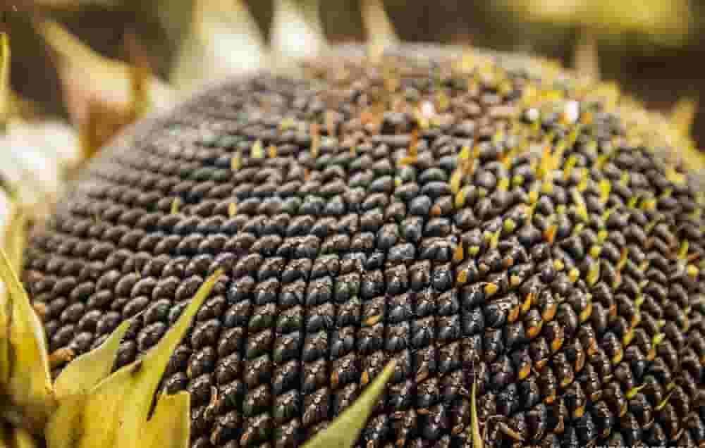 Купить Семена подсолнечника P64HE118