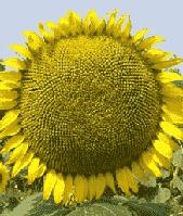 Купить Семена подсолнечника P64HH106
