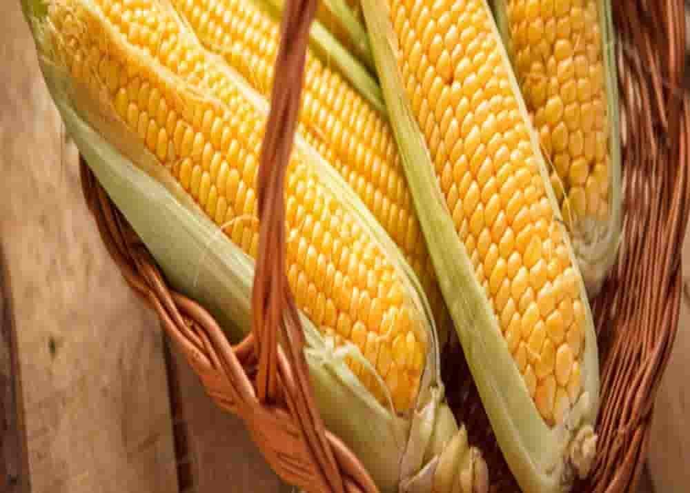 Купить Семена кукурузы P8521