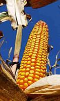 Купить  Семена кукурузы P9074