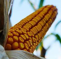 Купить Семена кукурузы P9241