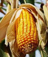 Купить Семена кукурузы P9903