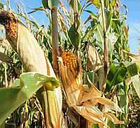 Купить Семена кукурузы P9718E