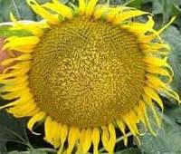Купить Семена подсолнечника Меридіан
