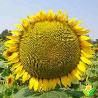 Купить Семена подсолнечника Дунай (стандарт)