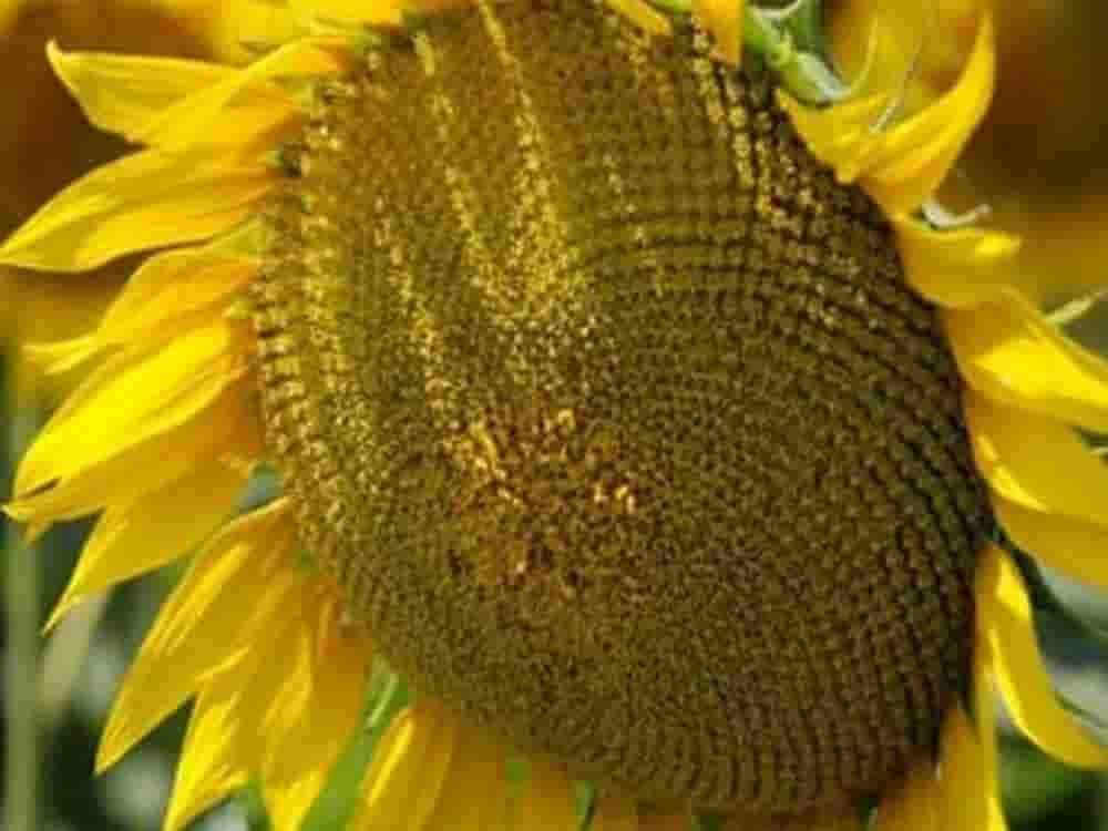 Купить Семена подсолнечника НС Х 6042
