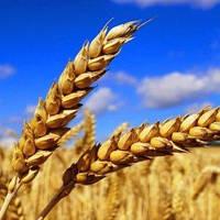 Семена озимой пшеницы НС 40 С (элита