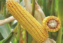 Купить Кукурудза ДН Галатея