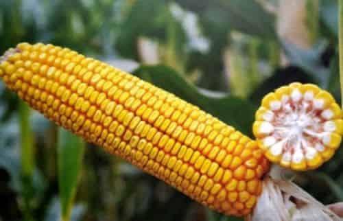 Купить Кукуруза ДН Синевир