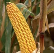 Купить Семена кукурузы ДН Хотин