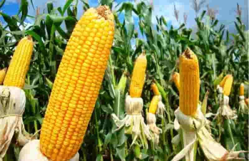 Купить Семена кукурузы Пивиха