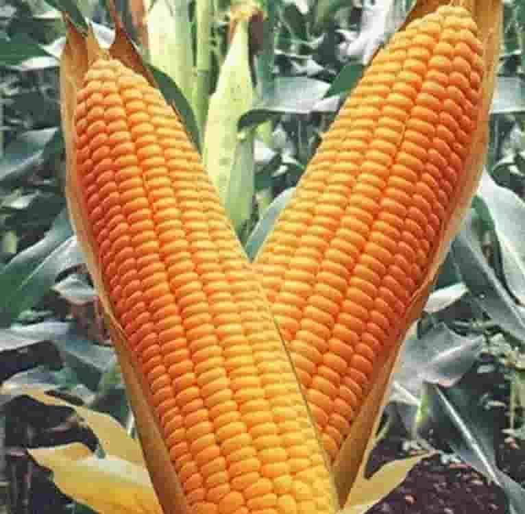 купить семена кукурузы