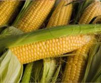 Купить Семена кукурузы Рубин